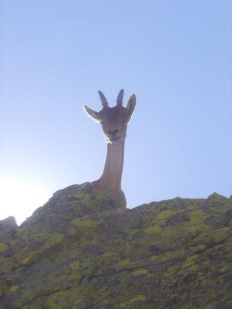 Cabra en Gredos